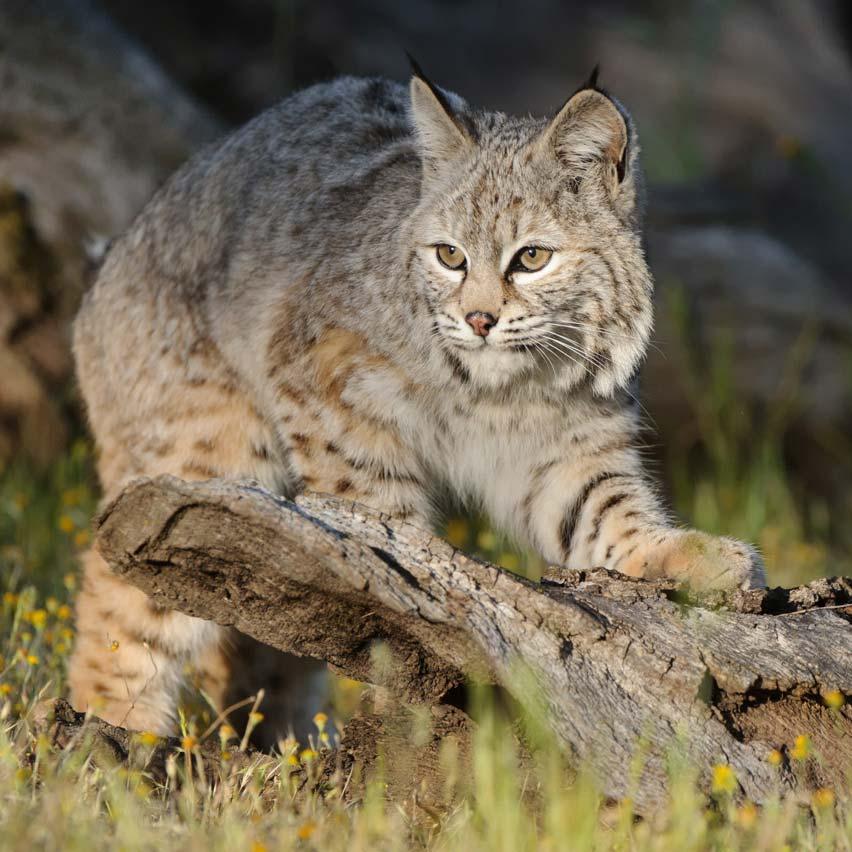 bobcat - photo #18